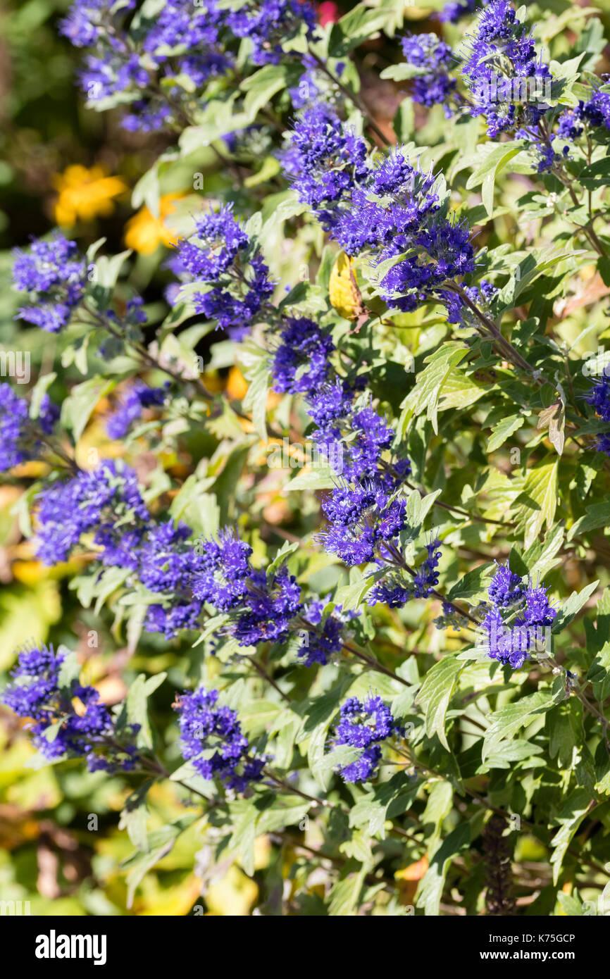 Blaue Blumen der Ende Sommer bis Anfang Herbst blühende sommergrüne Strauch, Caryopteris x clandonensis 'Grand bleu' Stockbild
