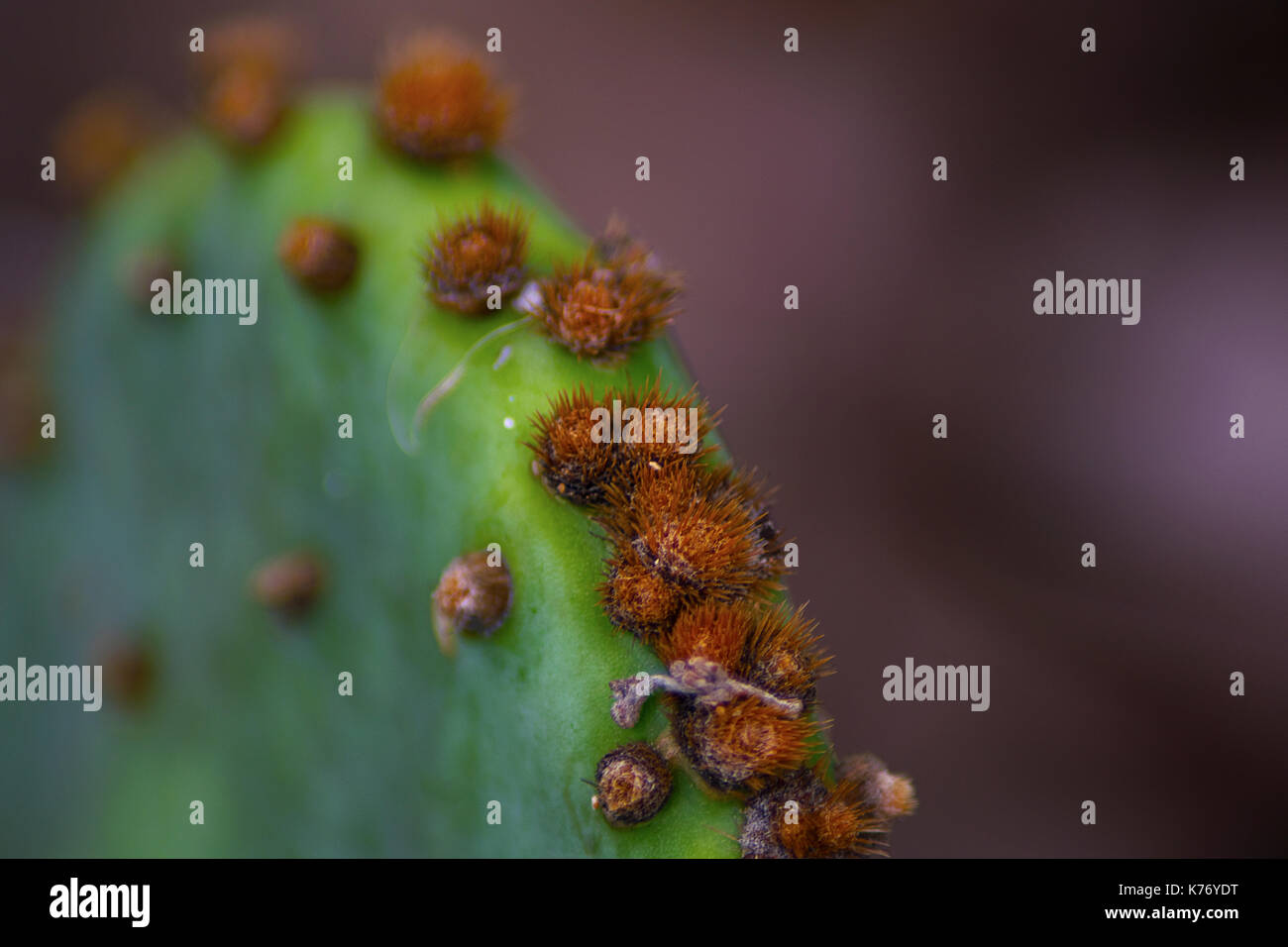 Makro Foto eines Feigenkakteen mit kleinen Nadeln am Lake Mineral Wells State Park Texas übernommen. Stockbild