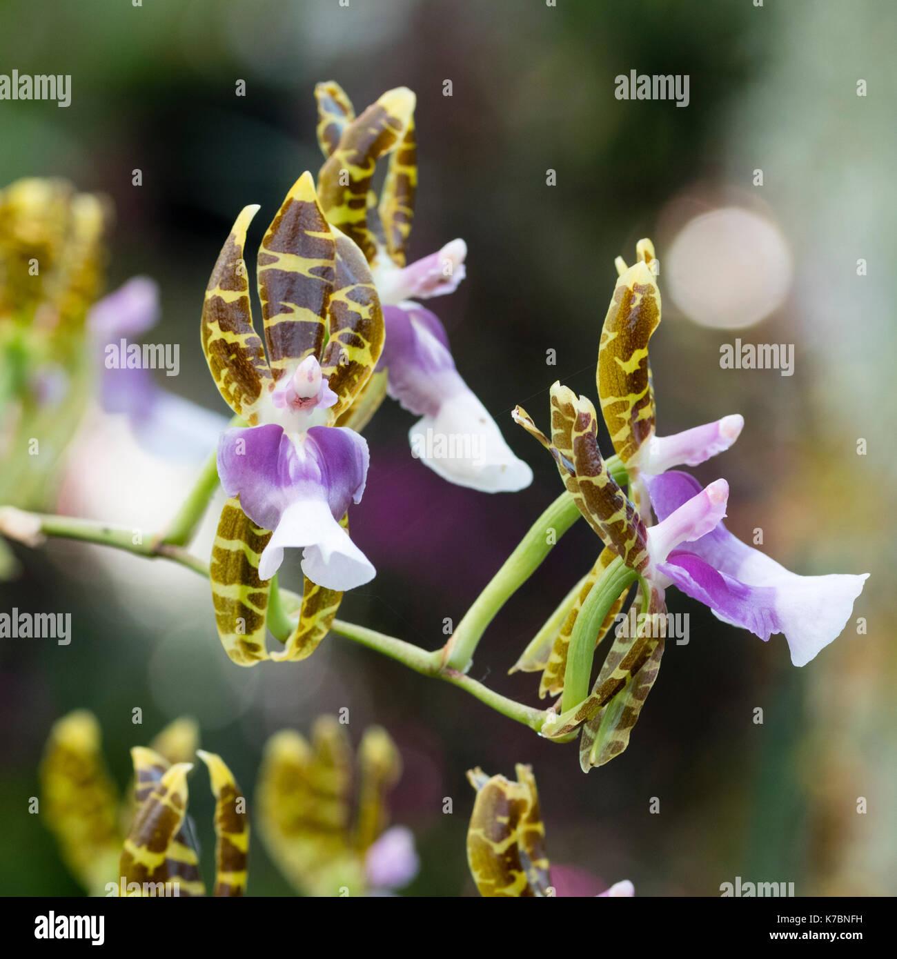 Blumen des kühlen Sommer blühende epiphytisch wachsende, Orchidee, Miltonioides laevis (Oncidium laeve) Stockbild