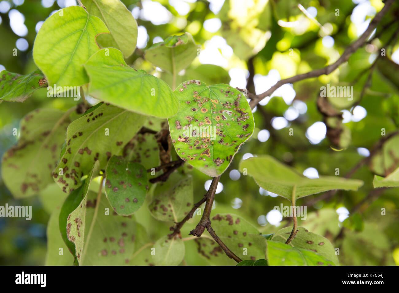 Quitte Blattfleckenkrankheit close-up. Cydonia oblonga betroffen von diplocarpon mespili. Dunkle Flecken auf Laub, Blatt-stelle Krankheit. Stockbild
