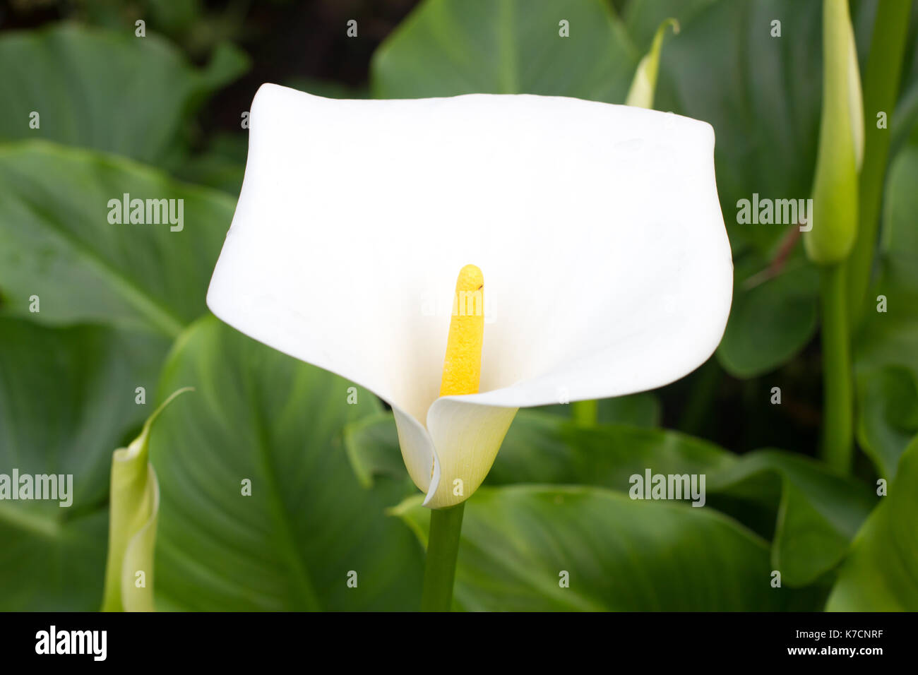 bog arum lily stockfotos bog arum lily bilder alamy. Black Bedroom Furniture Sets. Home Design Ideas