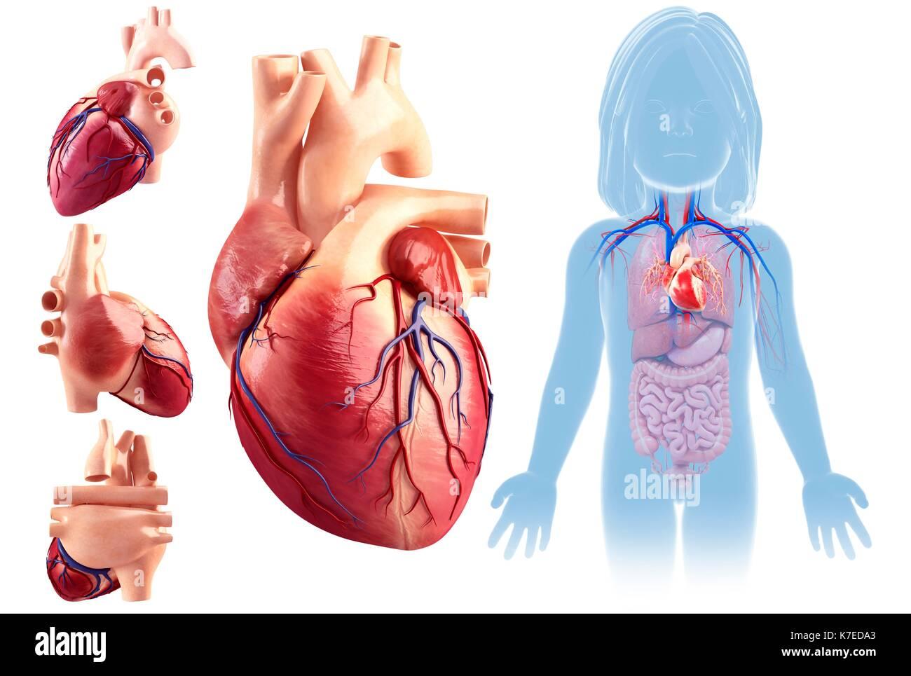 Abbildung: Herz Anatomie eines Kindes Stockfoto, Bild: 159513707 - Alamy