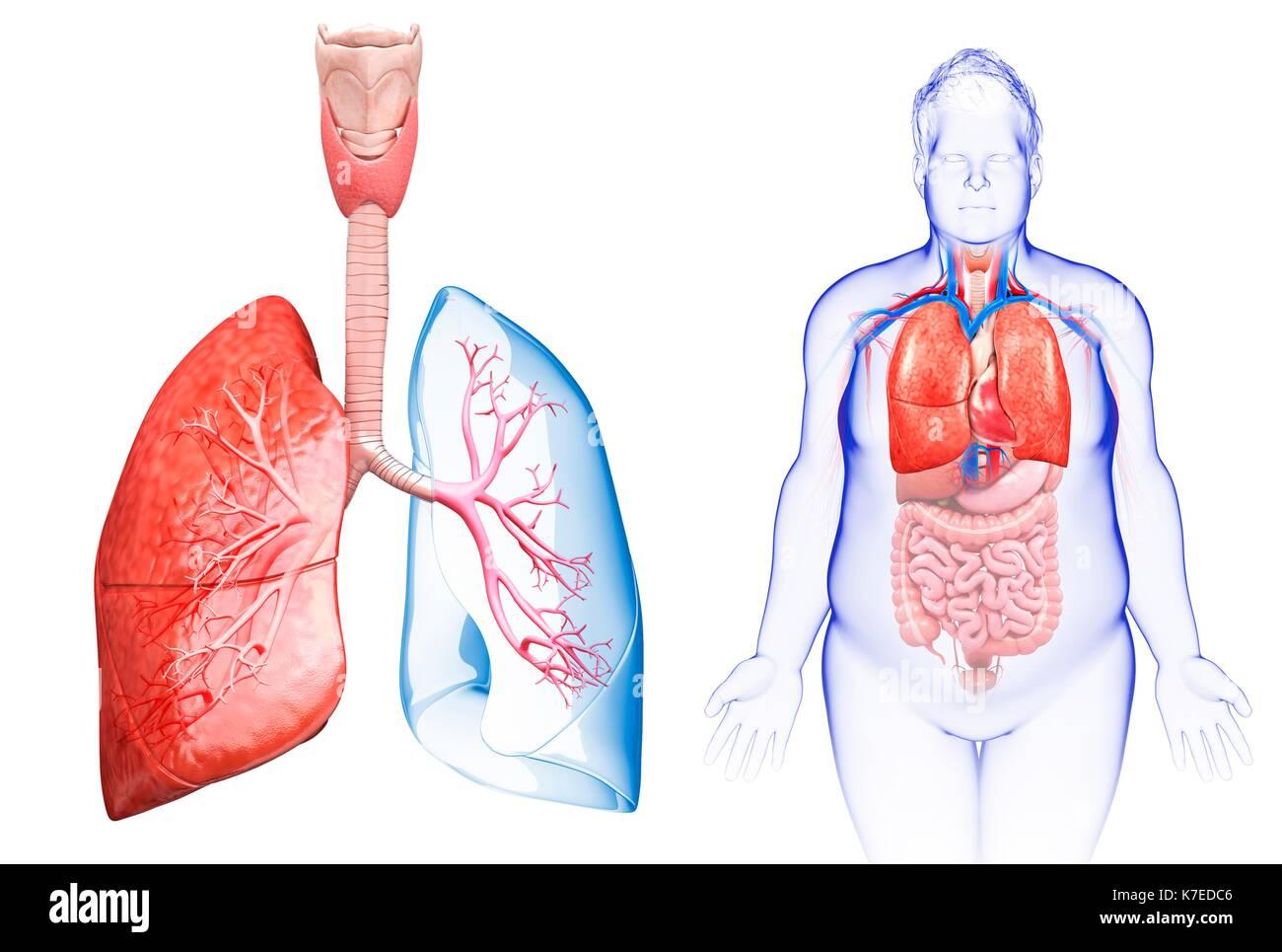 Darstellung der männlichen Lunge Anatomie Stockfoto, Bild: 159513766 ...