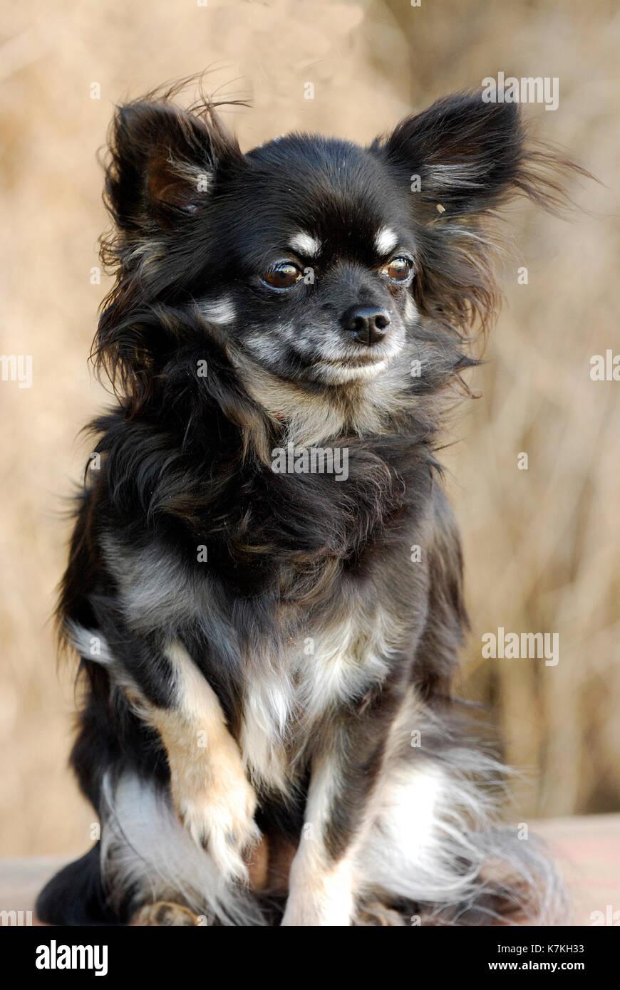 Cute Puppy Dog Eine Langhaarige Chihuahua Schwarz Braun Und Karamell Langen Mantel Stockfotografie Alamy