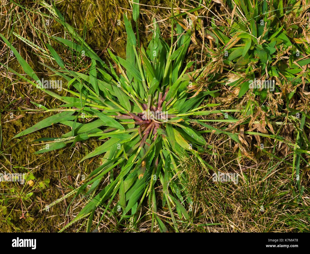 Ein Schönes Muster Crabgrass Unkraut Aus Meinem Garten Stockfoto