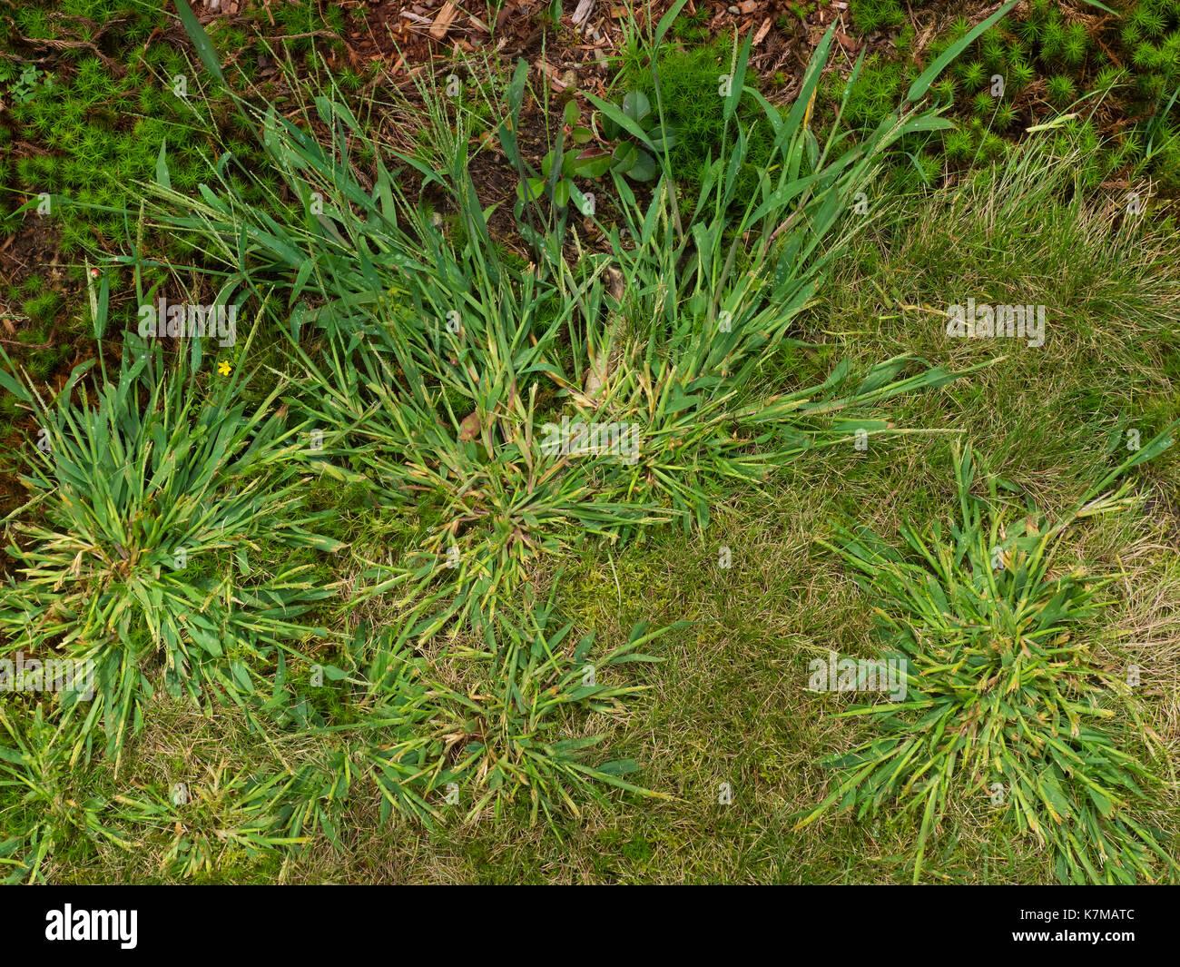 Nahaufnahme Von Crabgrass Unkraut In Meinem Garten Stockfoto Bild