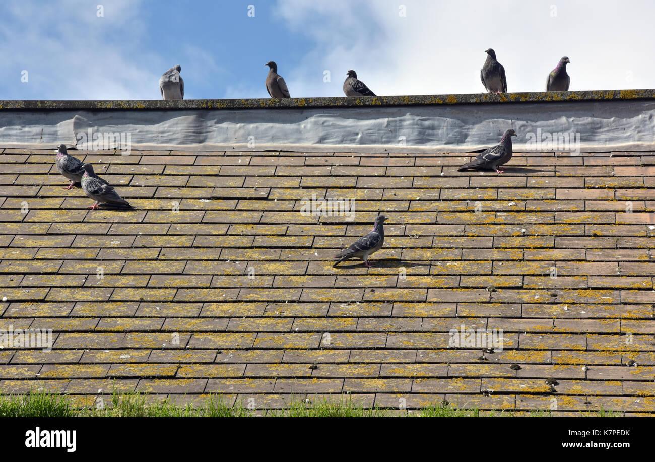 Tauben auf einem Felsvorsprung auf einem Dach einander zugewandt sitzen Stockbild