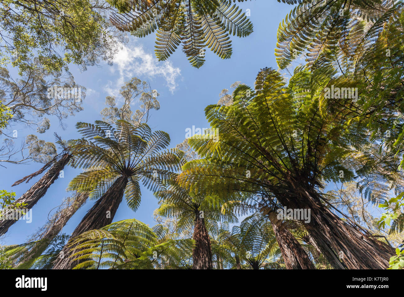 New Zealand native Baumfarne (Dicksonia squarrosa) in der Nähe von Rotorua, Neuseeland Stockbild