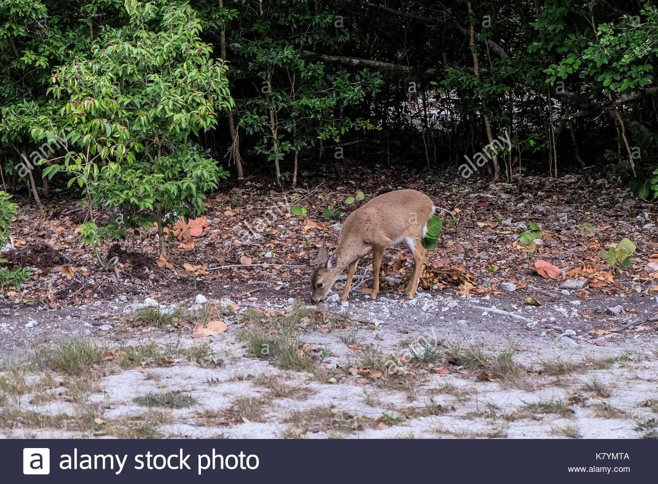 Bild von Florida Keys - KEY WEST - Key Largo - Bahia Honda Key Deer Stockbild