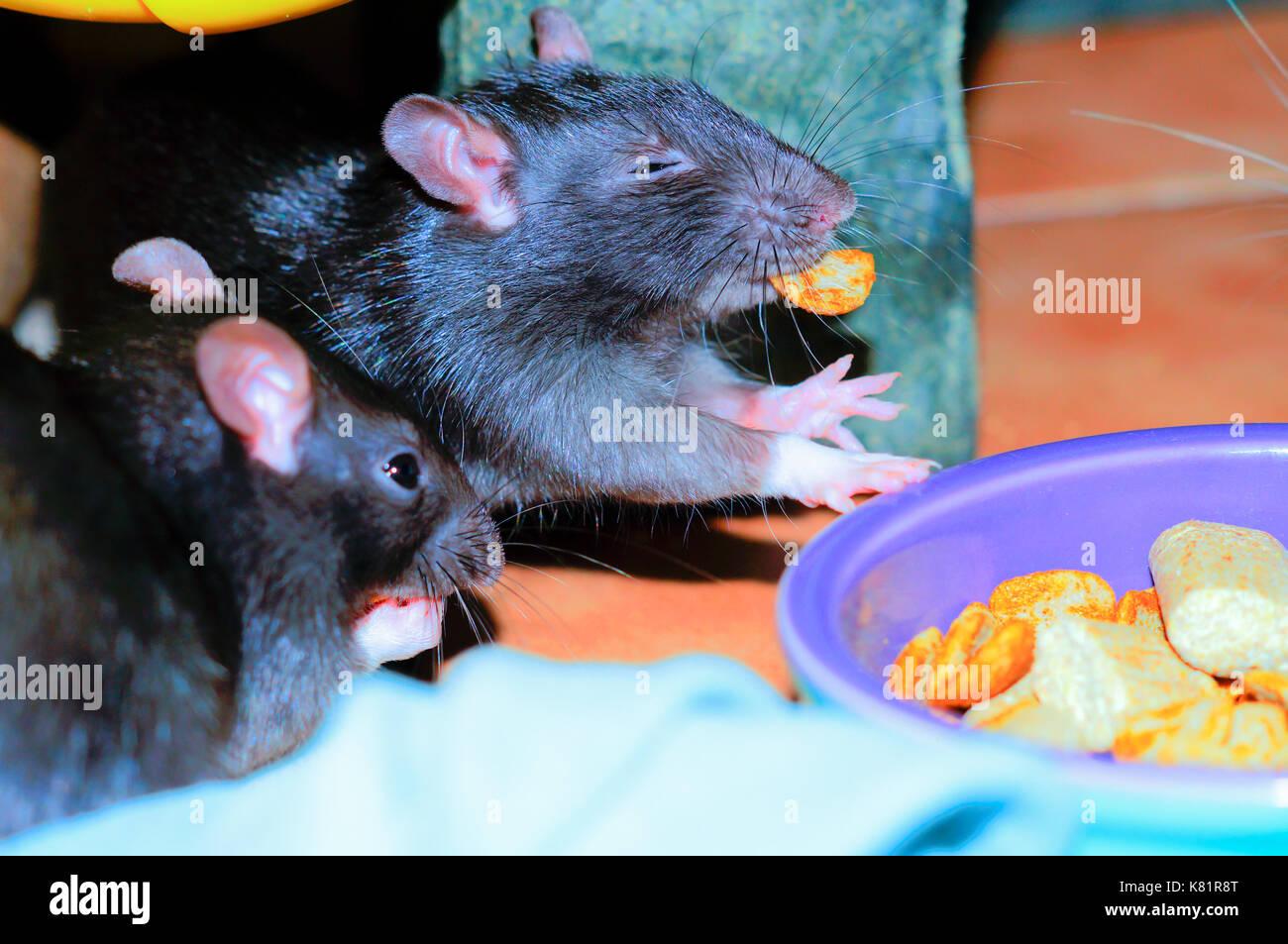 Zwei Ratten essen Lebensmittel Stockbild