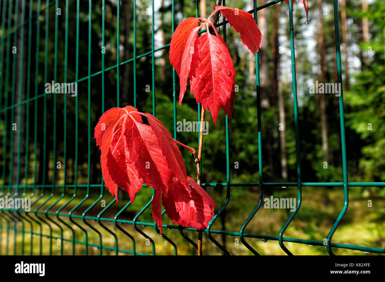 Red Virginia Creeper Leaves Stockfotos & Red Virginia Creeper Leaves ...