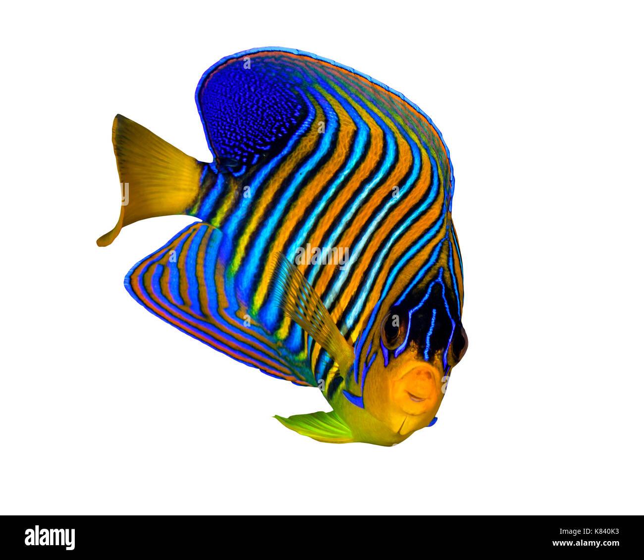 Regal Angelfish auf weißem Hintergrund Stockbild