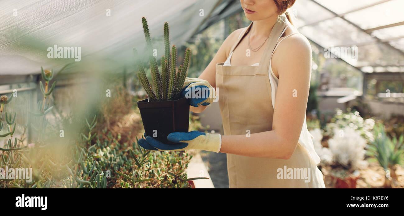 7/8 Schuß von Frau mit einem Kaktus Pflanzen im Gewächshaus. Mittelteil der weiblichen Gärtner Holding eine eingemachte Kaktus in der Gärtnerei. Stockbild