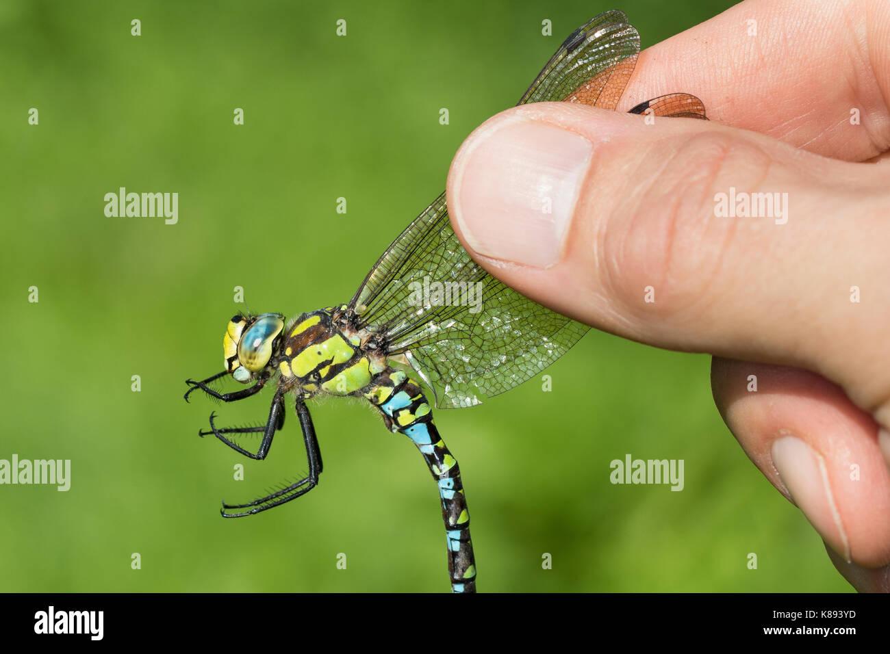 Libellen-Bestimmung, gefangene Libelle wird vorsichtig zwischen zwei Fingern gehalten, Entomologie, Biologie, Zoologie, Stockbild