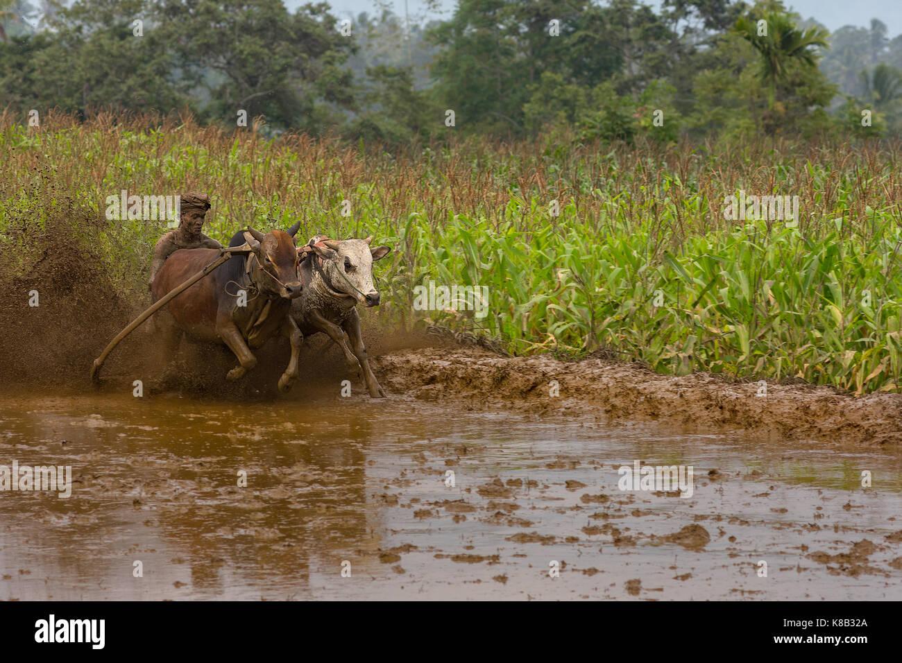 Aufwachraum Jawi (Kuh Racing) Jockey und seine Kühe in West Sumarta, Indonesien. Jährliche traditionelle Zuschauersport Stockfoto