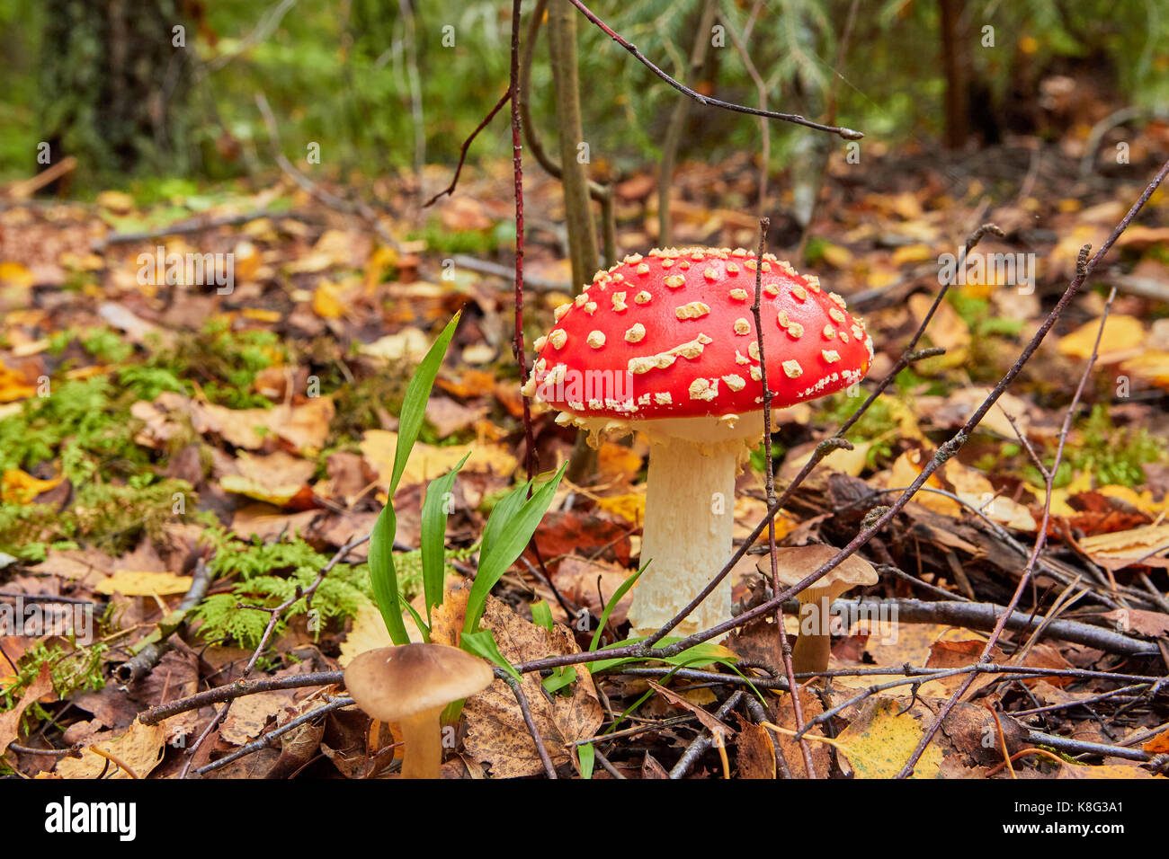 fly agaric bright red cap stockfotos fly agaric bright red cap bilder alamy. Black Bedroom Furniture Sets. Home Design Ideas