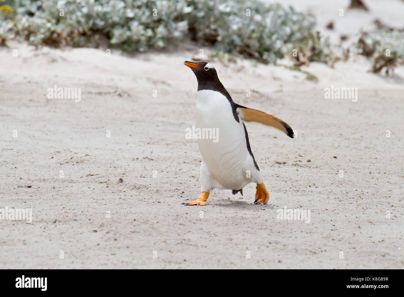 Gentoo Pinguin, Falkland Inseln Stockbild