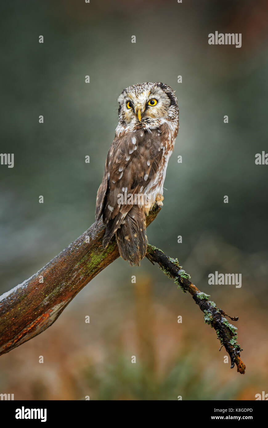 Tengmalm's Owl-Aegolius funereus Stockbild