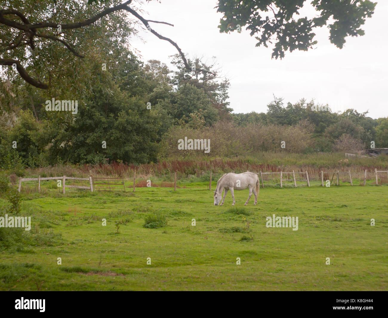 White Horse außerhalb Beweidung in Feld in Großbritannien Stockbild