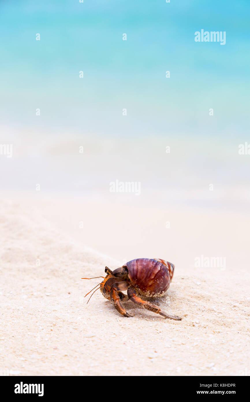 Konzept Bild - ein Einsiedlerkrebs, der Malediven - Konzeptfindung, langsam, aber stetig, die versuchen, den Fortschritt, Stockbild