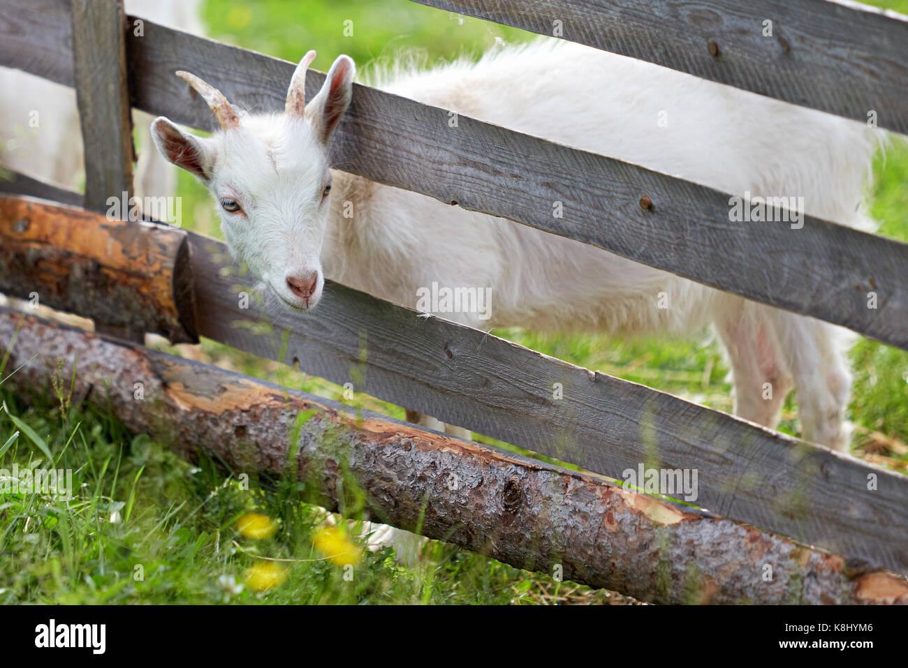 Weiss Goatling Steckte Seinen Kopf Zwischen Den Zaunlatten Stockfoto