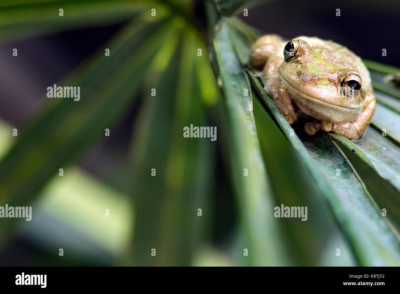 Kubanische Treefrog - Green Cay Feuchtgebiete, Boynton Beach, Florida, USA Stockfoto
