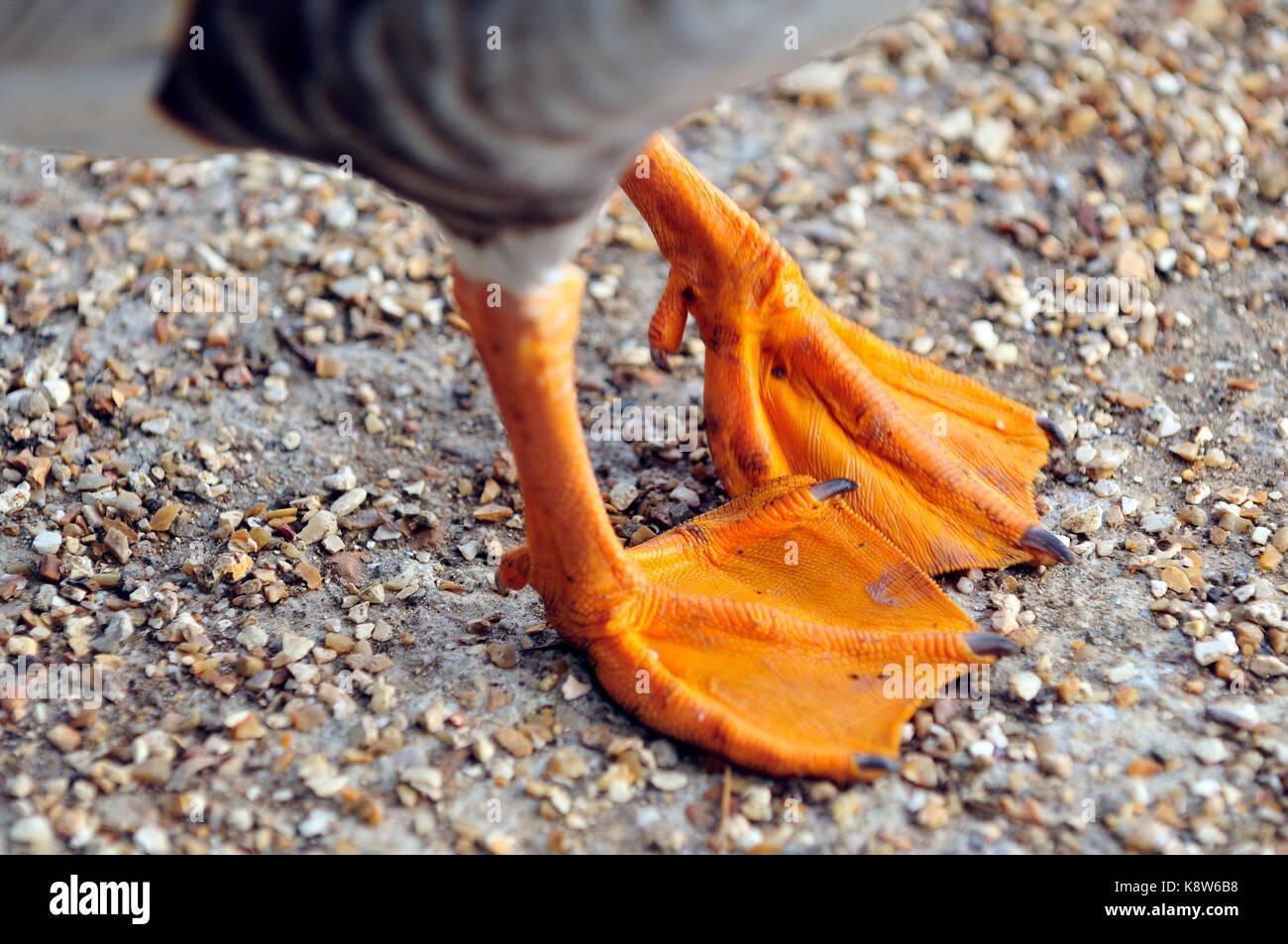 Paar Enten Paddles oder schwimmhäuten für Walking watschelnd und Schwimmen.. Stockbild