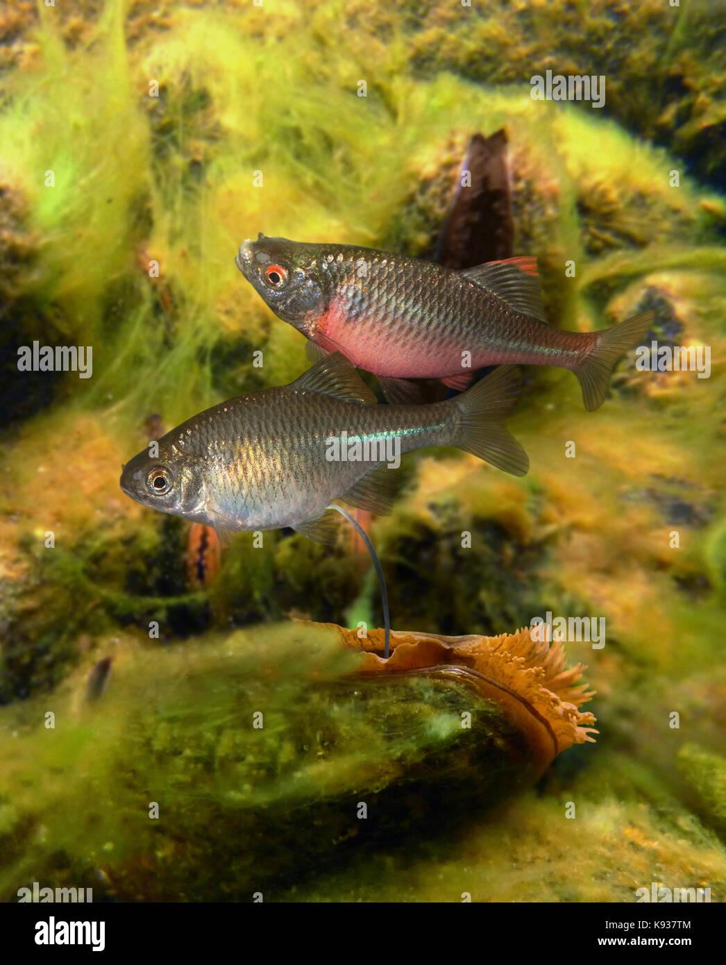 Europäische Bitterling, Rhodeus amarus. Paar, Mann oben. Weibliche führt die Eileiter in Süßwasser Stockbild