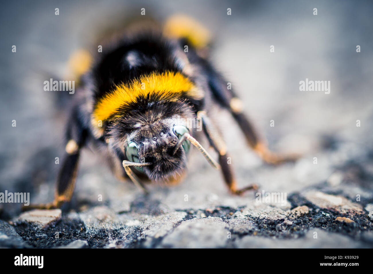 Makro Nahaufnahme von einer Biene in einem Naturschutzgebiet Stockbild