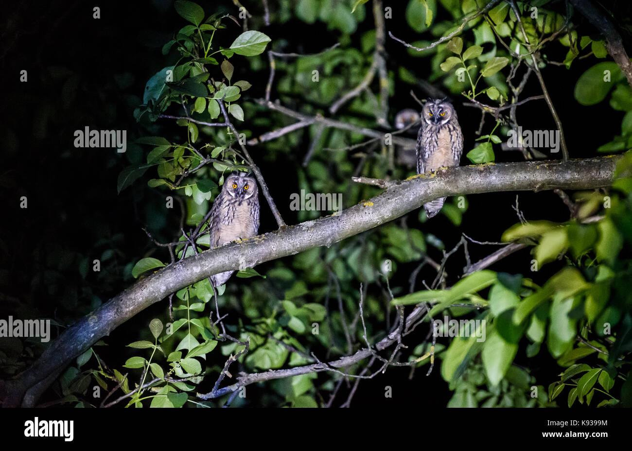 Zwei kurze oder lange eared Eulen sitzen auf einem Ast. Asio otus oder Asio flammeus mit gelben Augen sitzen auf Stockfoto