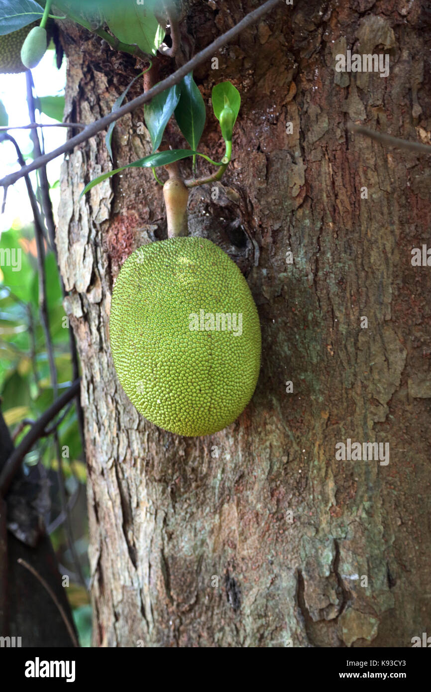 Spice Garden Sri Lanka über A9 Kandy Jaffna Autobahn Brotfrucht im Baum wachsen Stockbild