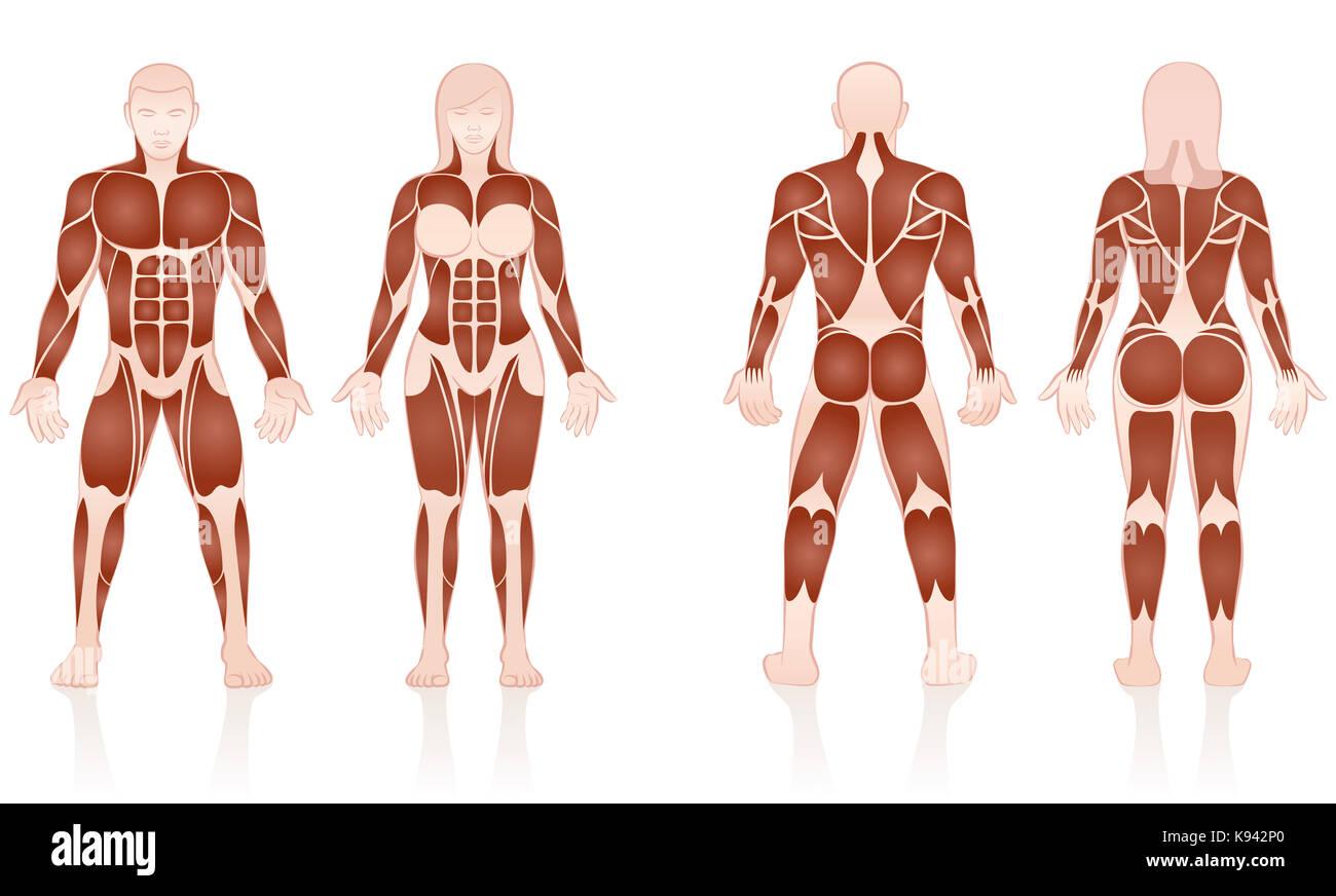 Männliche und weibliche Muskeln - große Muskelgruppen von Männern ...
