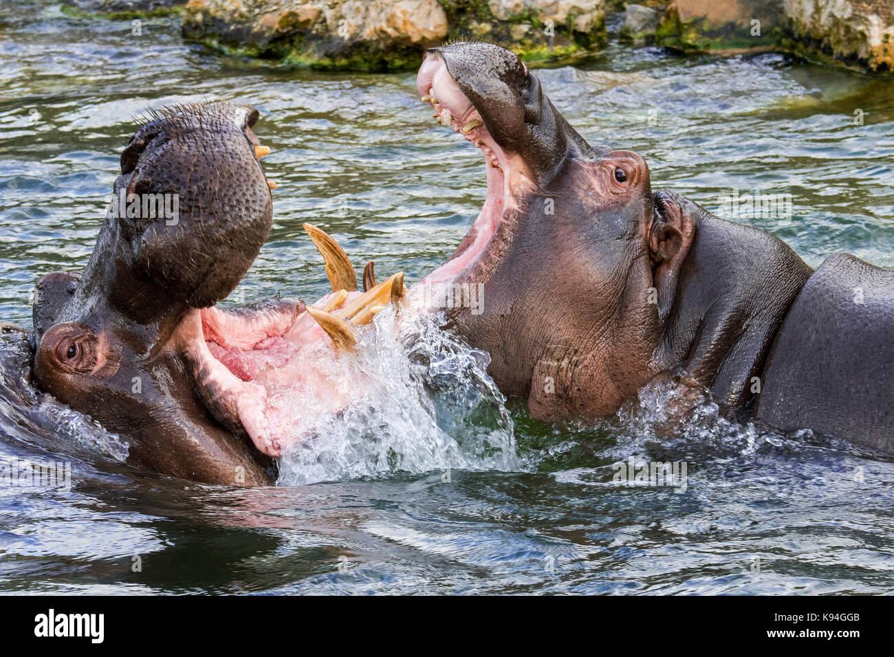 Bekämpfung von Flusspferden/Flusspferde (Hippopotamus amphibius) im See Ansicht des riesigen Zähne und Stockbild