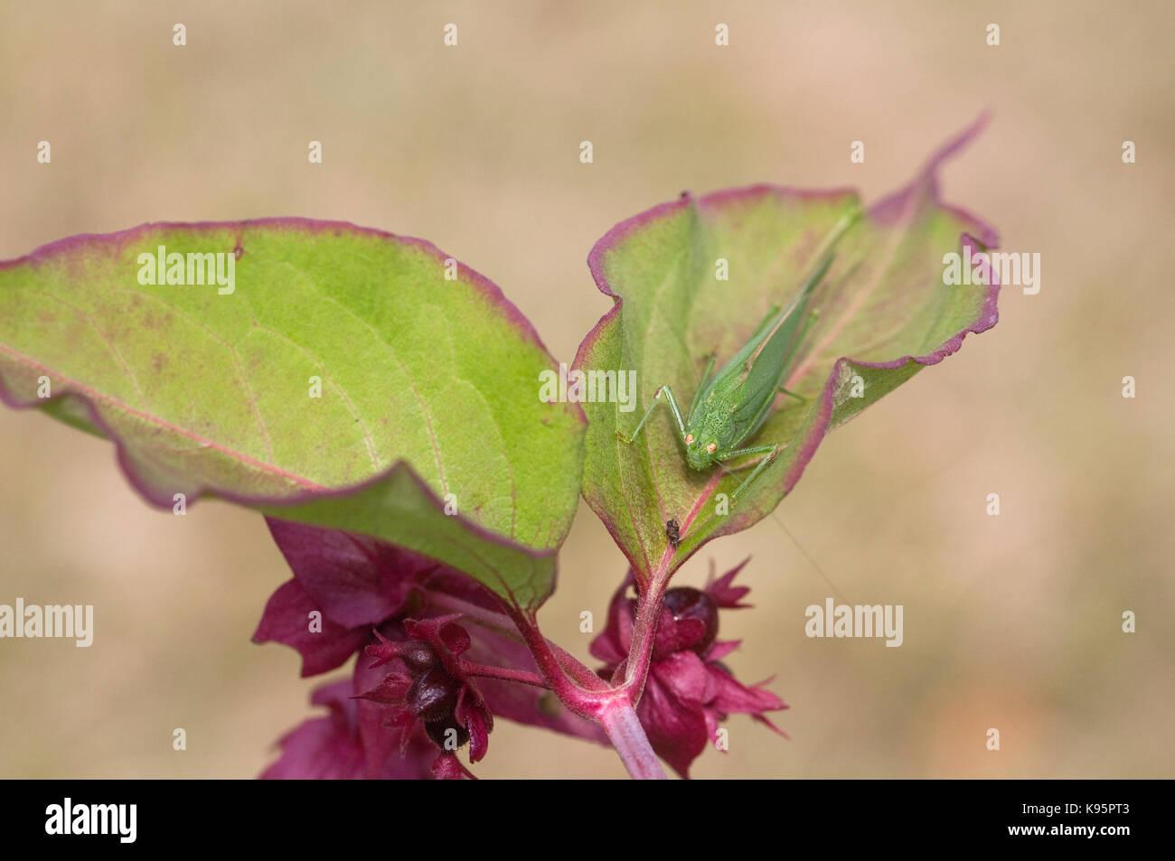Tettigonia Viridissima auf leycesteria Anlage. Super Green Bush Cricket. Stockbild
