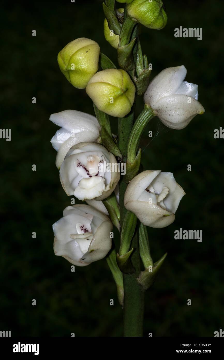 Orchidee Englisch