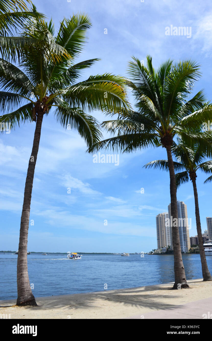 Palmen in Miami Beach, Florida Stockfoto