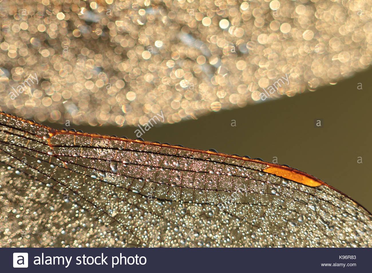 Tau-bedeckten Flügel einer Libelle im frühen Morgen Hintergrundbeleuchtung Stockbild