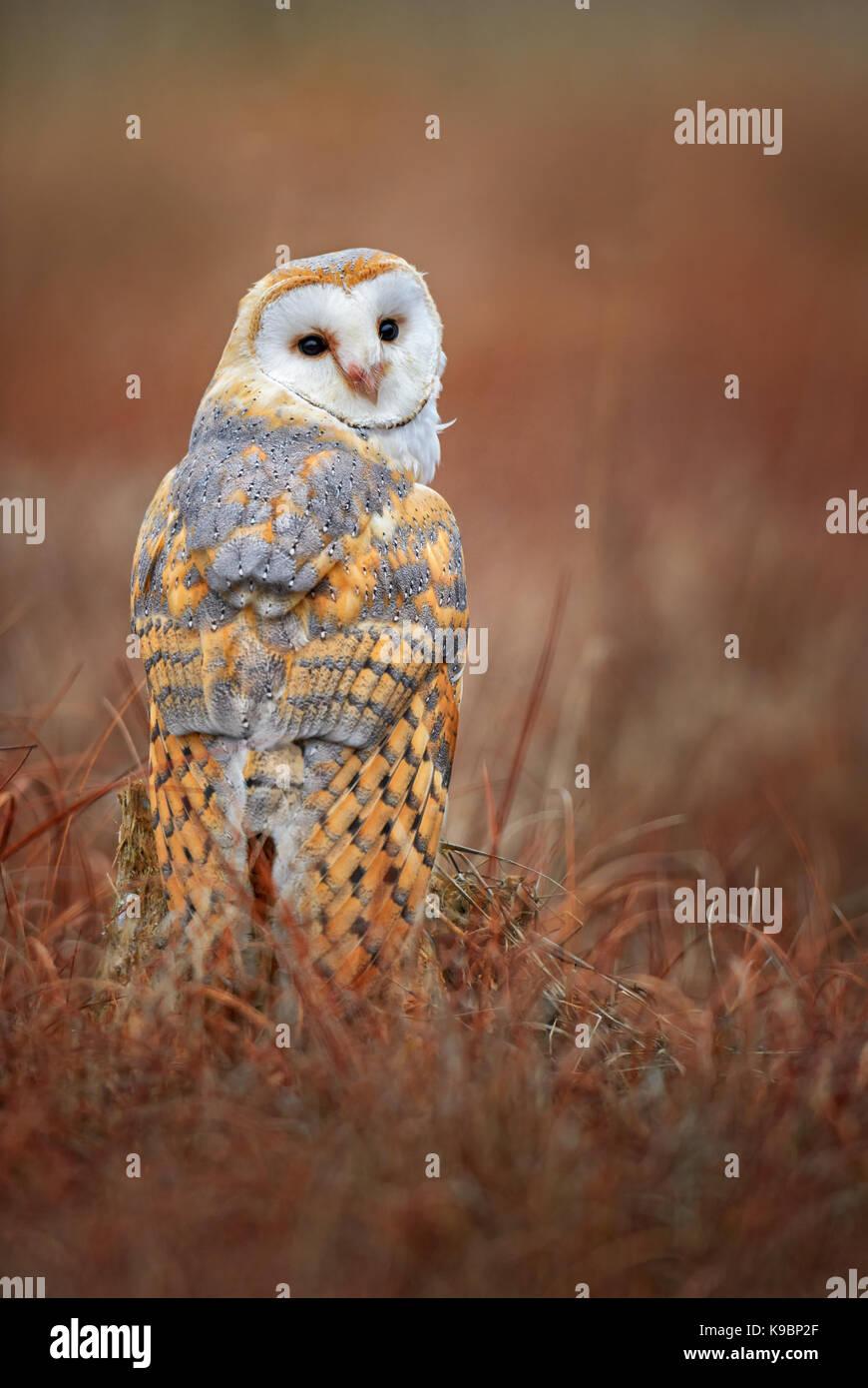 Schleiereule - Tyto alba Stockbild