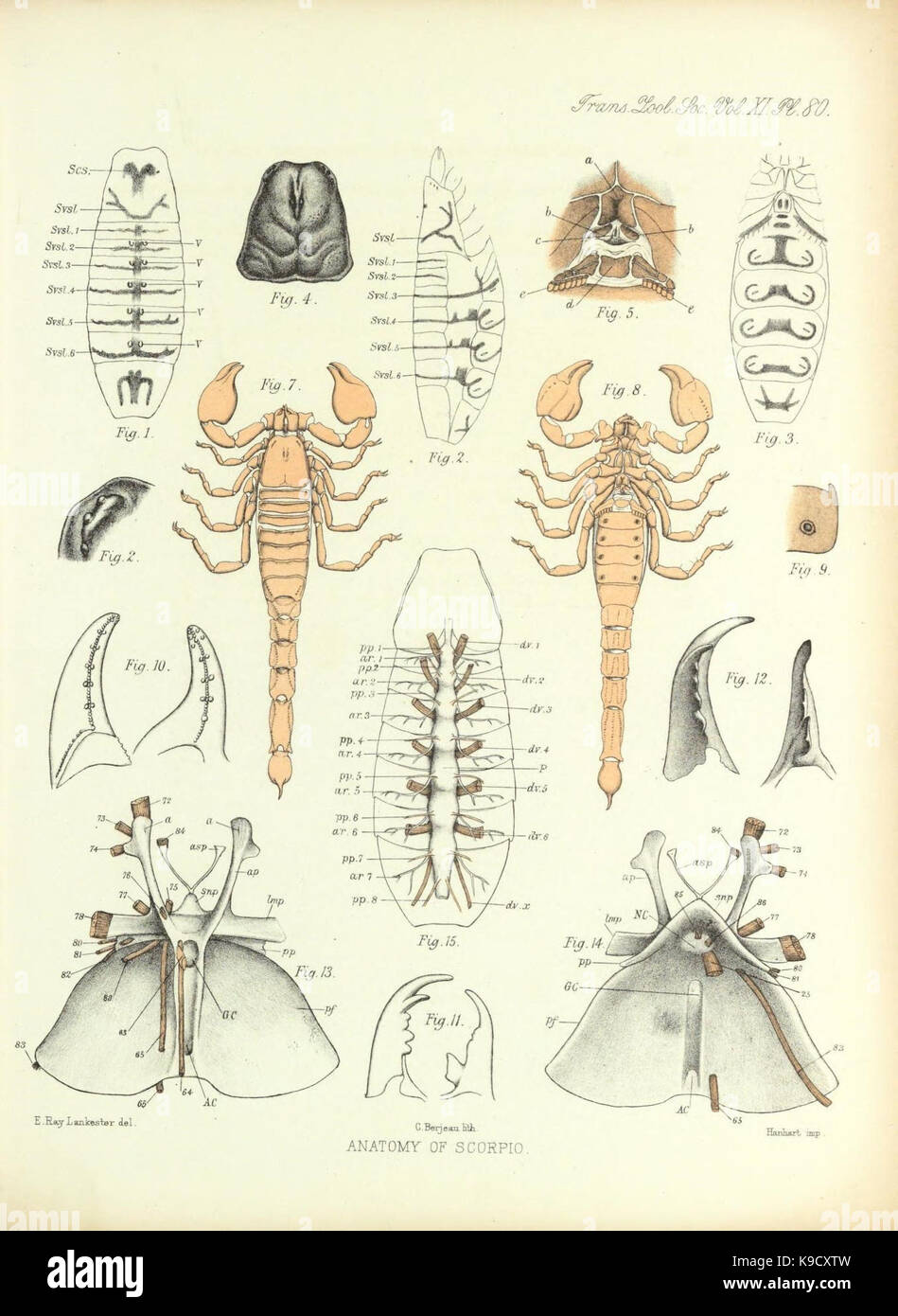 On Muscular Endoskeletal Systems Limulus Stockfotos & On Muscular ...
