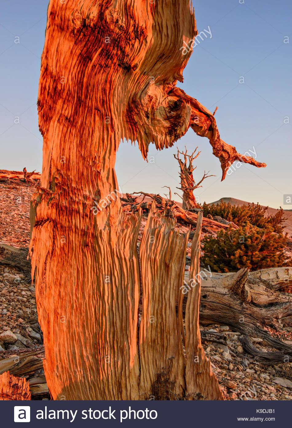 Ancient Bristlecone Pine umrahmt von bei Sonnenaufgang, die Weißen Berge, Inyo National Forest, Kalifornien Stockbild