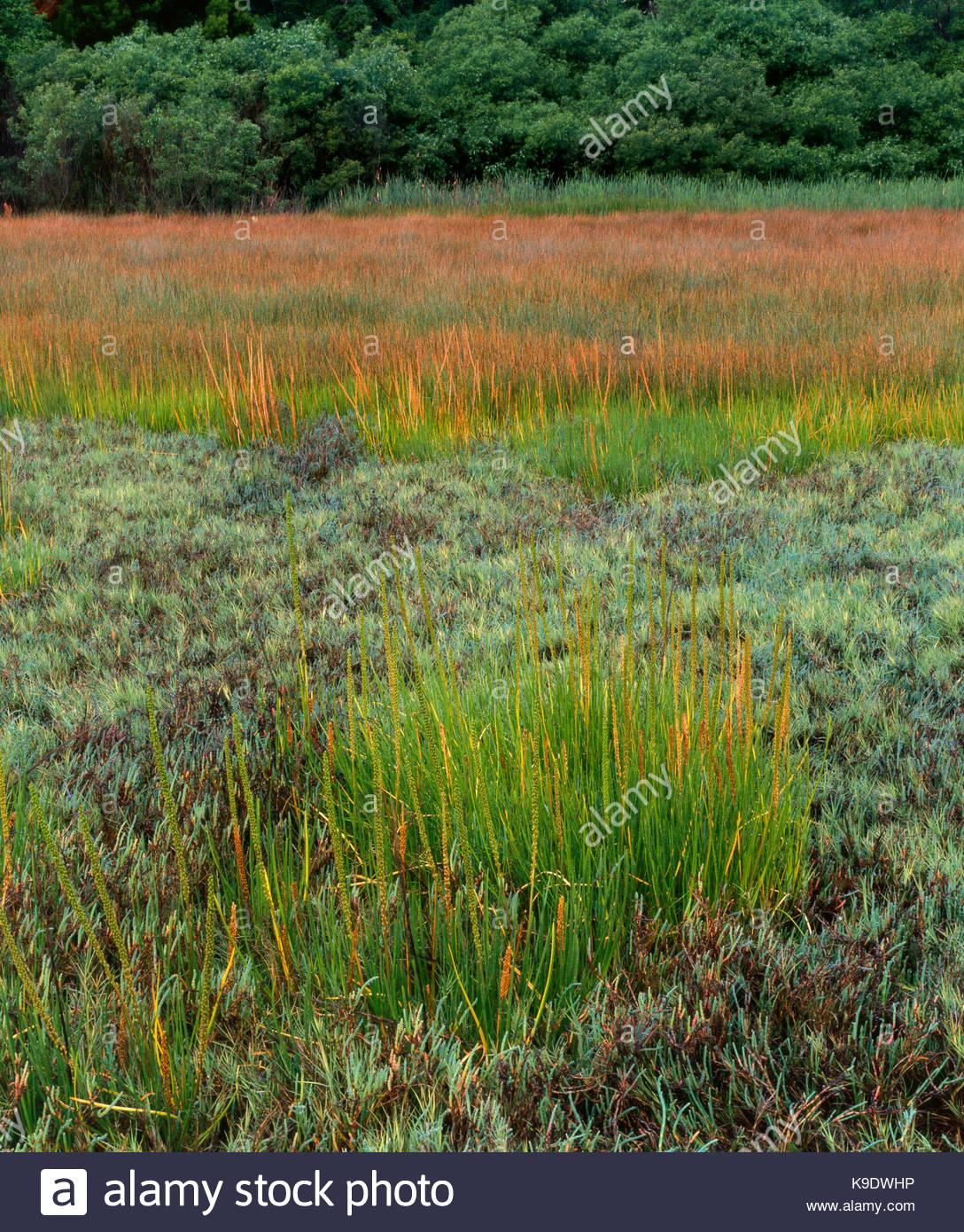 Pfeil, Gras, Salz Gras und Unkraut Pckle, Gezeiten Marsh Studie auf Tomales Bay, Marin County, Kalifornien Stockbild