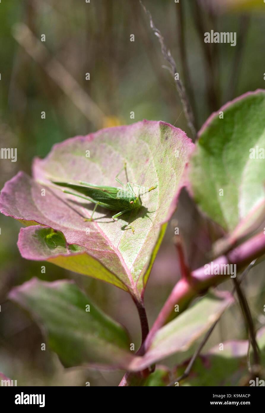 Tettigonia Viridissima. Super Green Bush Cricket auf Leycesteria formosa. Stockbild