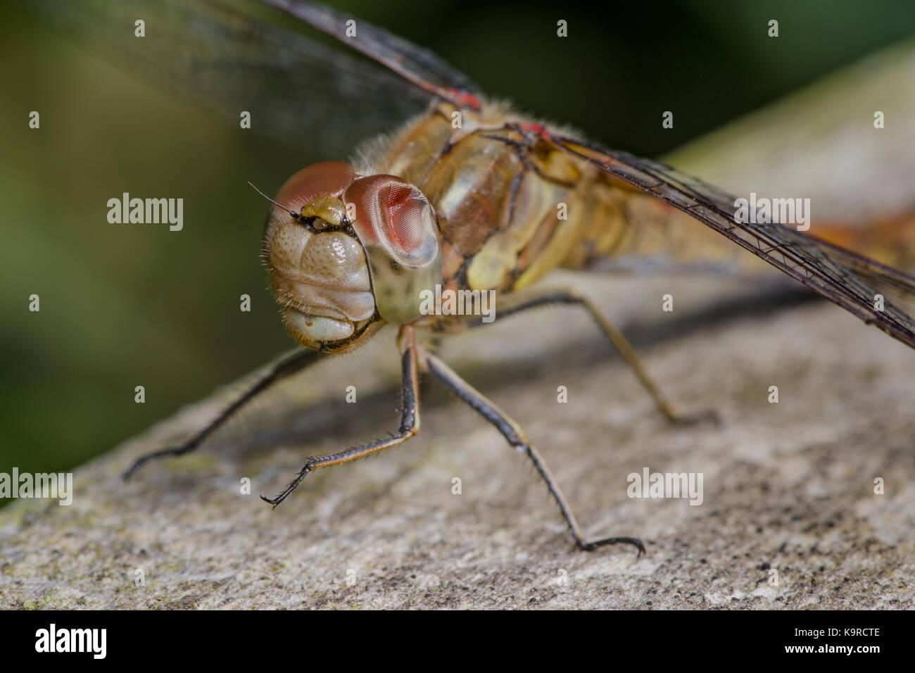 Gemeinsame ad Ruddy darter Libellen mit ihren bunten Multi-celled Facettenaugen und vier Flügel, während Stockbild