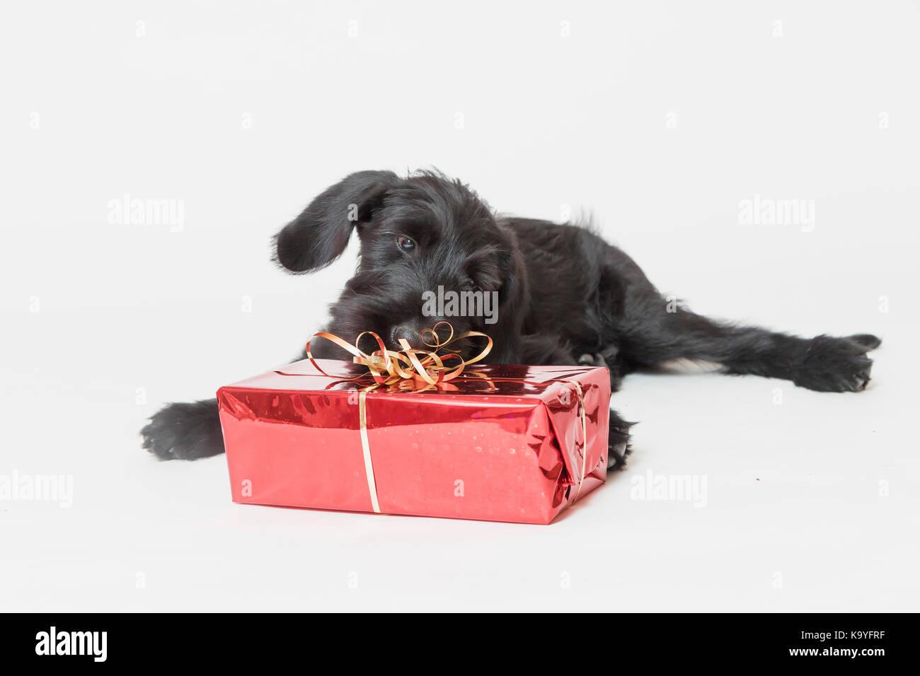 Studio geschossen von cute puppy von riesigen Schwarzen Schnauzer ...