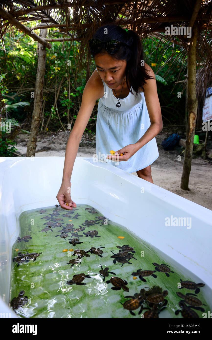 Fütterung der Pubs in einer Badewanne, Hawksbill Schildkröten (Eretmochelys imbricata), Schildkröten Stockbild