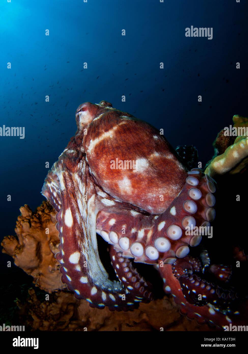 Red Octopus auf blauem Hintergrund auf Riff mit Beinen Curling runde Coral Stockbild