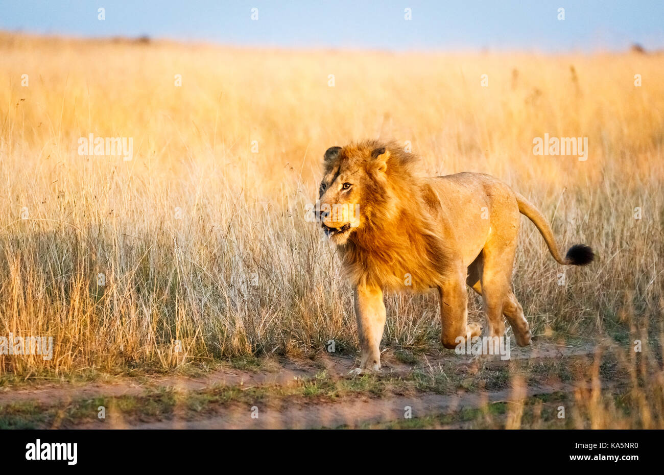 Auf der Suche nach männlichen Mara Löwe (Panthera leo) bricht in einem Durchlauf ein Rivale in der Savanne Stockbild