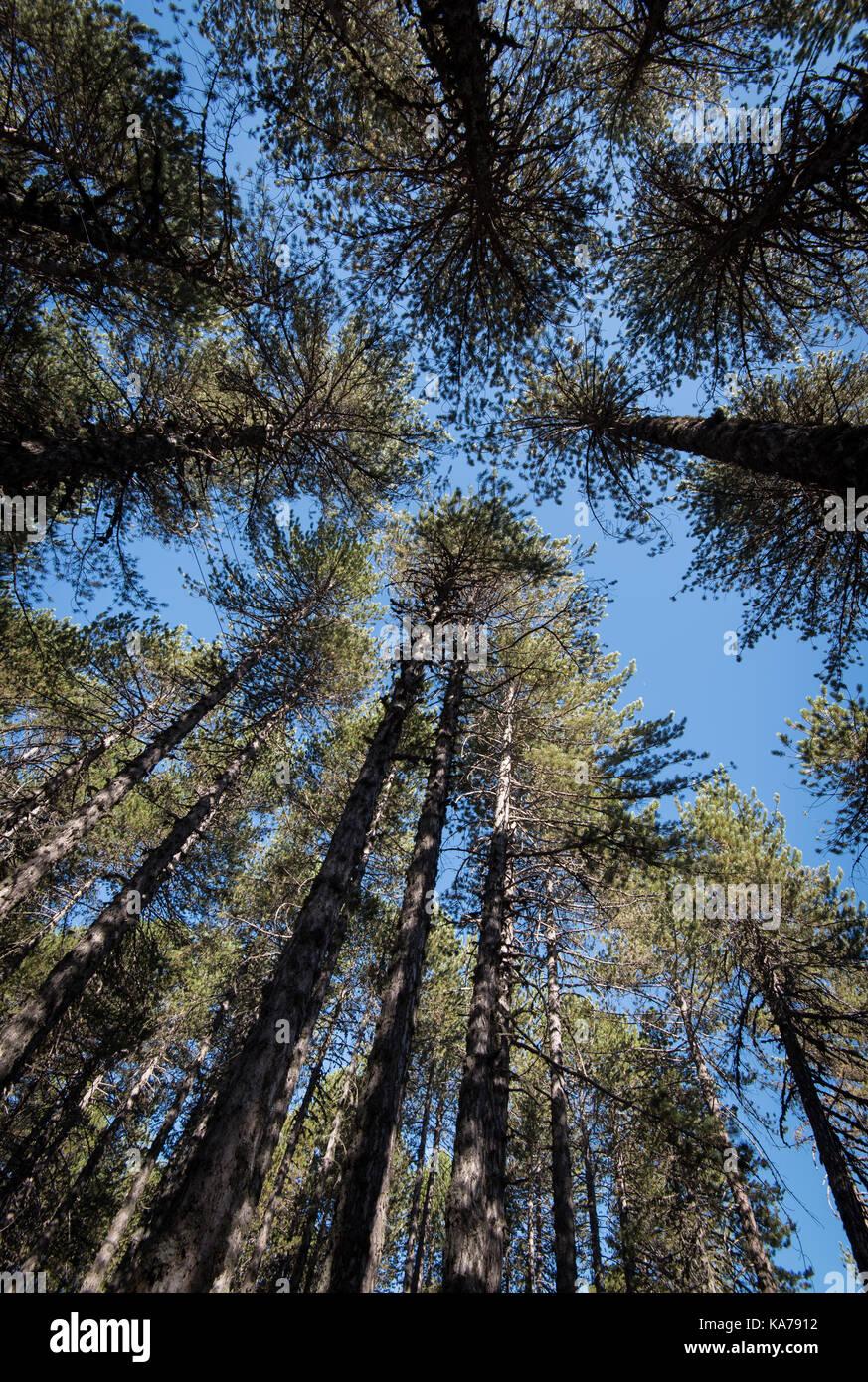 Pinienwald hohe Bäume baumkronen am späten Nachmittag und strahlend blauer Himmel in Troodos-Gebirge auf Stockbild