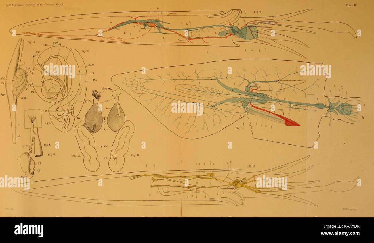 Die Anatomie des gemeinsamen Kalmare Loligo pealii, Lesueur BHL ...