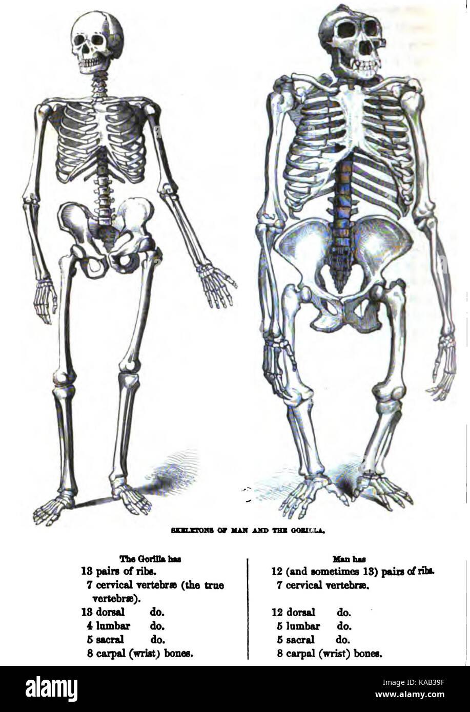 Berühmt Menschliche Anatomie Flankieren Galerie - Anatomie Von ...
